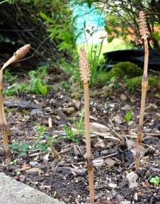 Horsetail - spore stem
