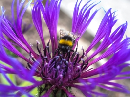 Cornflower and Bee