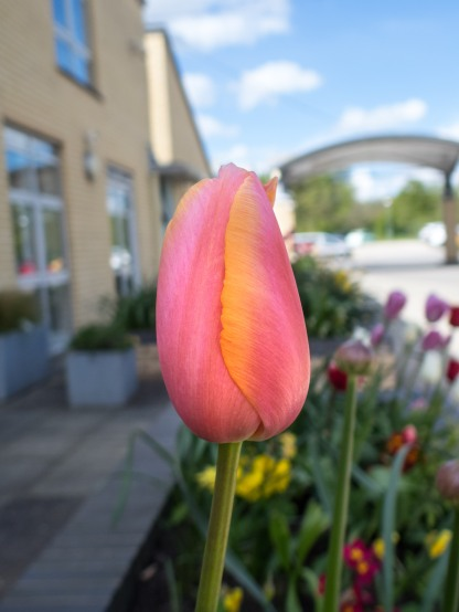 Pink and yellow tulip