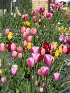 Tulips at front of Hospice