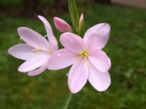 Schizostylis 'pink princess'