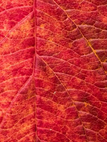 Dogwood Leaf