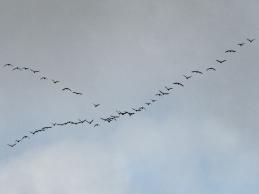 Geese Arriving