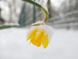 Snow covered Daffodil