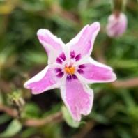 Phlox subulata 'Candy Stripe'