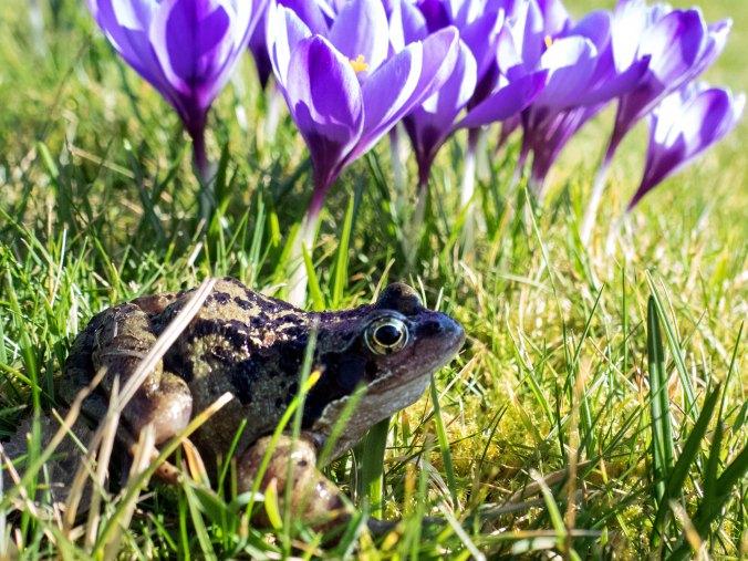 Frog inspecting crocuses