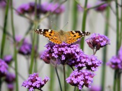 Painted Lady on Verbena